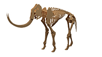 Mammoth (Anatomically Correct)